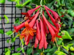 Lonicera sempervirens 'Major Wheeler' (trumpet honeysuckle)