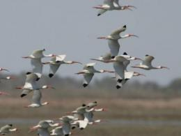 American White Ibis in Flight
