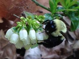 Bumblebee on a blueberry flower in Colleen's garden