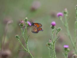 Monarch Butterfly on Thistle- USFWS Digital Library