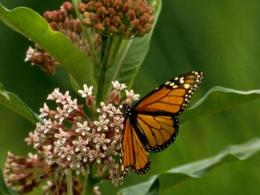 Monarch Butterfly - USFWS Digital Library