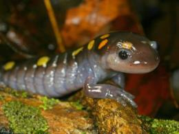 Spotted Salamander - Bill Peterman