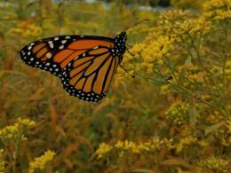 Monarch Butterfly just released