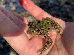Leopard Frog - Andrew Hoffman